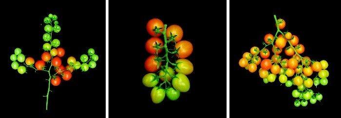 El grupo de Lippman utiliza la edición de genes con CRISPR para alterar el número y el patrón de ramificación de las flores que se convierten en fruta de tomate.